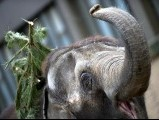 An elephant plays with a Christmas tree on January 4, 2013 at the Zoologischer Garten zoo in Berlin. PHOTO: AFP