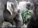 Elephants enjoy some Christmas trees on January 4, 2013 at the Zoologischer Garten zoo in Berlin. PHOTO: AFP