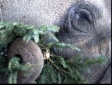 An elephant enjoys a Christmas tree on January 4, 2013 at the Zoologischer Garten zoo in Berlin. PHOTO: AFP