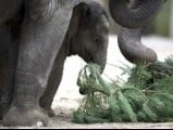 Young elephant Anchali plays with a Christmas tree on January 4, 2013 at the Zoologischer Garten zoo in Berlin. PHOTO: AFP