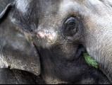 An elelphant enjoys a Christmas tree on January 4, 2013 at the Zoologischer Garten zoo in Berlin. PHOTO: AFP