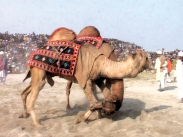 The bouts are followed by a folk Bhangra dance by the camels to the beat of drums.