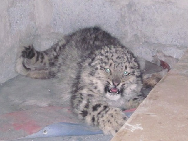 WWF save a snow leopard near the Khunjerab National Park. PHOTO: WWF