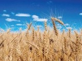 US, Pakistani scientists collaborate to increase wheat yields
