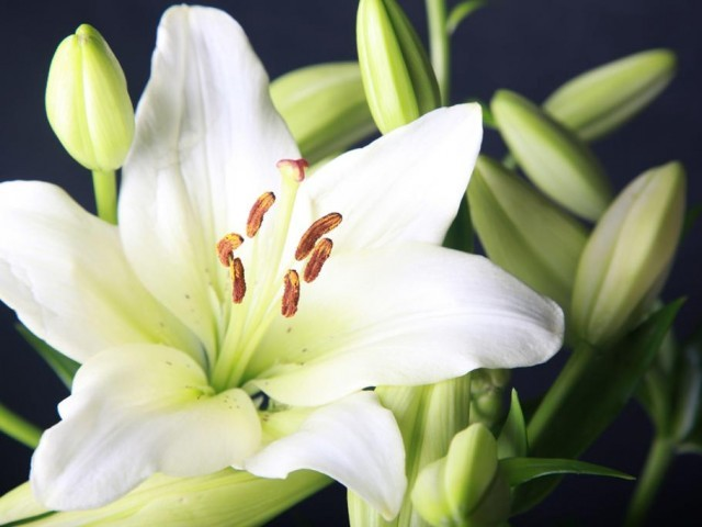 White Lily. PHOTO: FILE