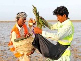 Around 300 residents of the coastal areas helped plant of 750,000 mangrove saplings at Kharo Chan, Thatta, finishing in a little over 12 hours. This is the highest number of saplings planted within a day. PHOTO: MOHAMMAD NOMAN/ EXPRESS