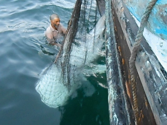 A juvenile whale shark caught in a tuna gillnet in the offshore waters off Khobar Creek was released without any injury by fishermen on November 20. PHOTO COURTESY: WWF-P