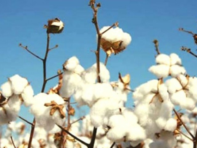 Agriculture loss: 118,000 acres is the amount of cotton crop damaged in Punjab during flood and rains in 2013-14. PHOTO: FILE