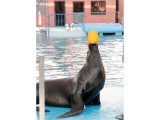 Memo, the sea lion, practices balancing before a show at the Maritime Museum in Karachi. PHOTO: AYESHA MIR/EXPRESS