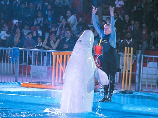 Stephen, the Beluga, (L) performs along with Ukrainian trainer Inga Strekach (R) during the show at the Maritime Museum in Karachi. PHOTO: AYESHA MIR/EXPRESS