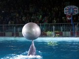 Boris, the performing dolphin balances a globe the tip of its snout during the show at the Maritime Museum in Karachi. PHOTO: ONLINE