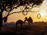 Sundown: Camels bask in the last rays of the day's sun at the bank of River Ravi. PHOTO: RIZWAN ALI ZIA