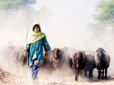 The shepherd girl: Families from Balochistan travel to southern Punjab during the months of November and December to put their livestock out to pasture, in this case in Jehanian. Even children participate as they remain out of school, wielding shepherds' sticks instead of pens. PHOTO: ALI AWAIS