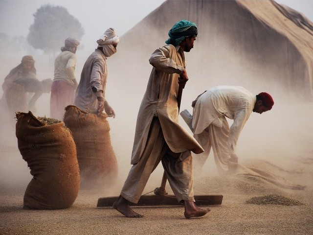 Paddy crops: The local labourers of Hafizabad, Punjab struggle to dry the annual paddy crop harvest. Working for a pittance, these men and women work hard to prevent their families from starvation and provide their younger ones a better future. PHOTO: SIKANDER HAYAT