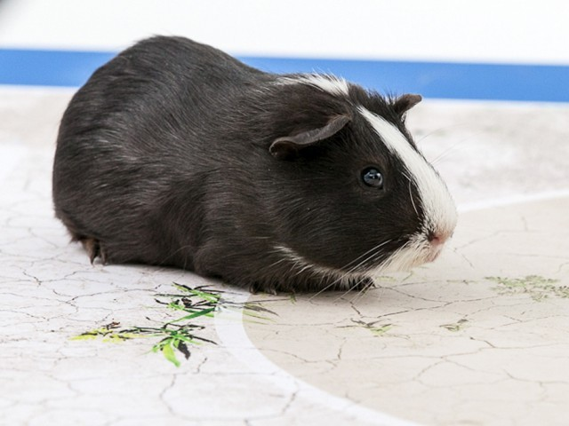 "This picture released on June 6, 2014, by international development charity Swissaid shows a guinea pig called ""Madame Shiva"". PHOTO: AFP"