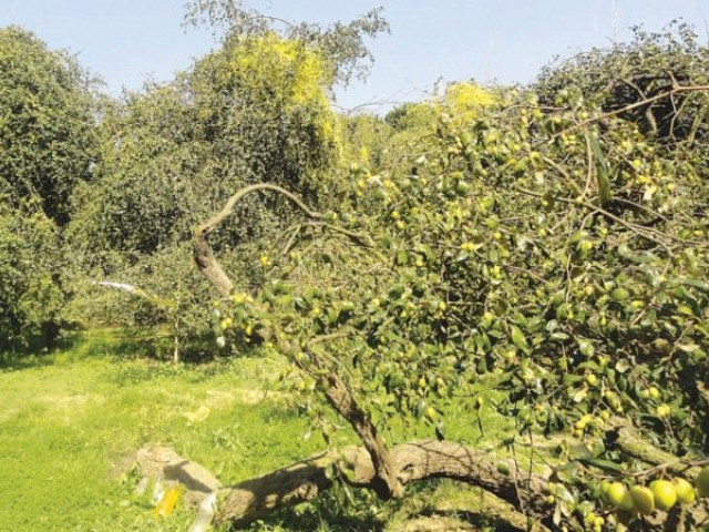 A 60- to 70-year-old mango tree growing on Junaid Faridi's lands. PHOTO: TALAT FARIDI
