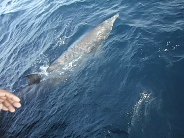 The Longman's beaked whale released back to the Arabian Sea. PHOTO: WWF-Pakistan