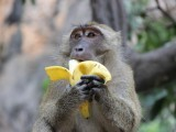 shutterstock_monkey-eating-banana