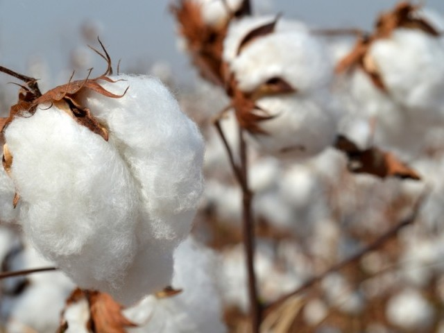 The farmers from different parts of the province complained that they are being forced to sell cotton at Rs2,200 to Rs2,300 per maund.PHOTO: FILE