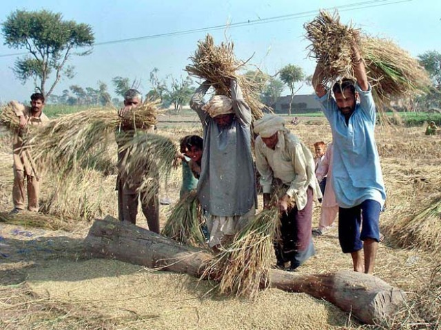 The price of Pakistani rice is higher than the paddy produced by India and other regional countries. PHOTO: APP