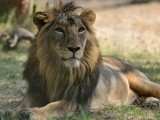 asiatic-lion_0_1_0-2