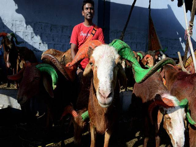 An Indian Muslim vendor handles a goat at a livestock market in Hyderabad on September 22, 2015, ahead of the Muslim feast of Eid al-Adha. PHOTO: AFP