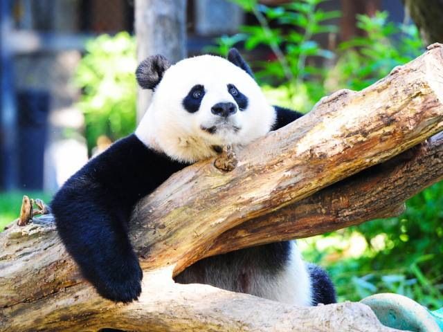 This file photo taken on August 24, 2016 shows Giant panda Mei Xiang resting in her enclosure at the National Zoo in Washington, DC.  PHOTO: AFP