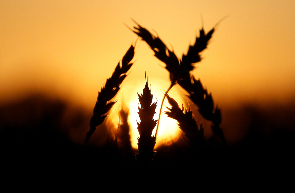 a-view-shows-ears-of-wheat-during-sunset-in-a-field-of-the-solgonskoye-farming-company-near-talniki