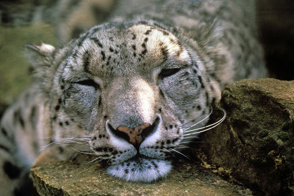 "snow leopard essay The snow leopard has 10,335 ratings and 759 reviews darwin8u said: ""the sun is roaring, it fills to bursting each crystal of snow i flush with feeling."