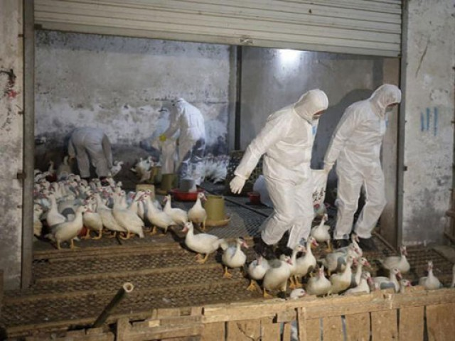 "Recent outbreaks of bird flu in China have been handled in a ""timely and effective"" manner without spreading and have not affected chicken products or prices.  PHOTO: REUTERS"