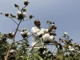 a-farmer-harvests-cotton-in-his-field-at-rangpurda-village-3