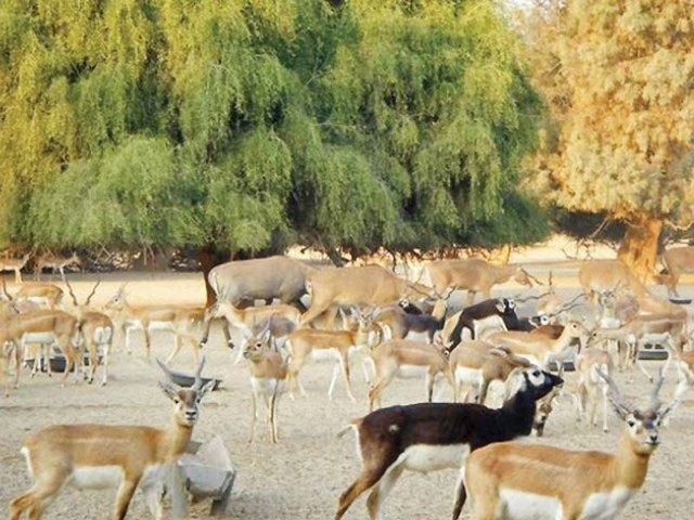 Thar is home to precious wildlife, which includes nilgai antelope, chinkara deer, peacocks, other antelopes, rabbits, partridges and many more, but sadly all of them are now endangered species. PHOTO: FILE