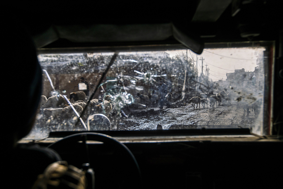 A picture taken through the bullet-riddled windshield of an Iraqi Counter Terrorism Service (CTS) Humvee shows a shepherd and his flock of sheep fleeing in eastern Mosul. PHOTO: AFP