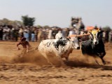 a-bull-savar-jockey-guides-his-bulls-as-he-competes-in-a-bull-race-in-pind-sultani