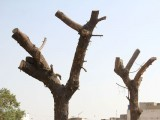 trees-replanted-near-mazaar-e-quaid-from-brt-green-line-location-ayesha-mir-10
