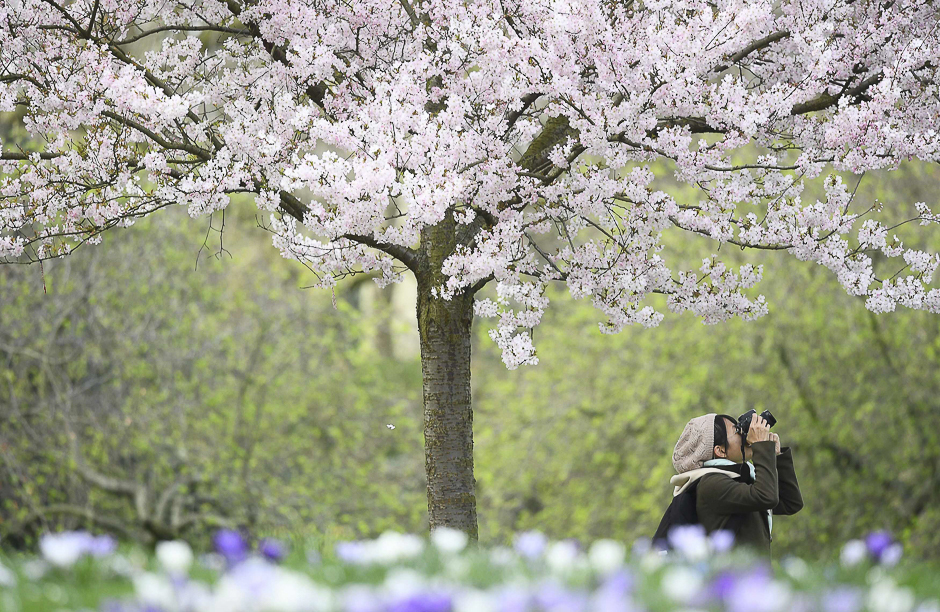 A woman photographs blossom in St. James's Park, in London, Britain. PHOTO: REUTERS