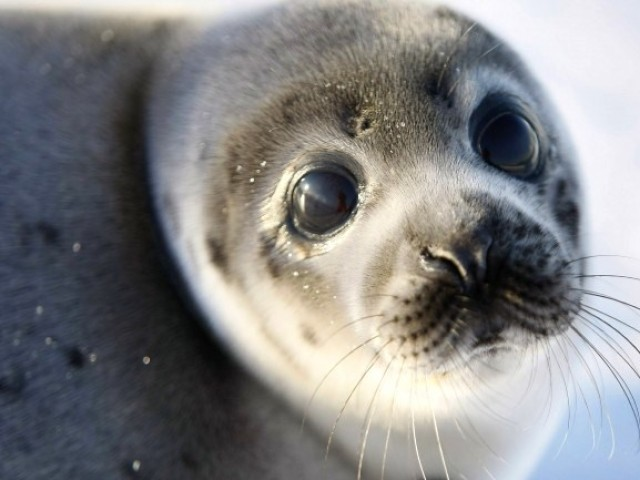 Baby seal. PHOTO: AFP