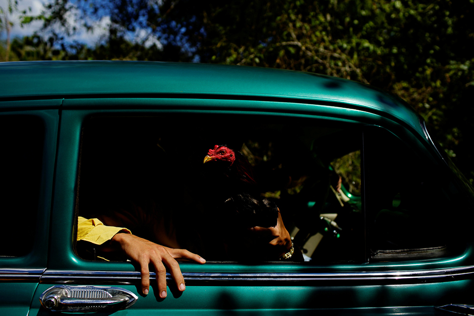 Cockfighting enthusiasts show a rooster through the window of a vintage car on their way to a cockfighting arena at the outskirts of Ciro Redondo, central region of Ciego de Avila province, Cuba. PHOTO: REUTERS