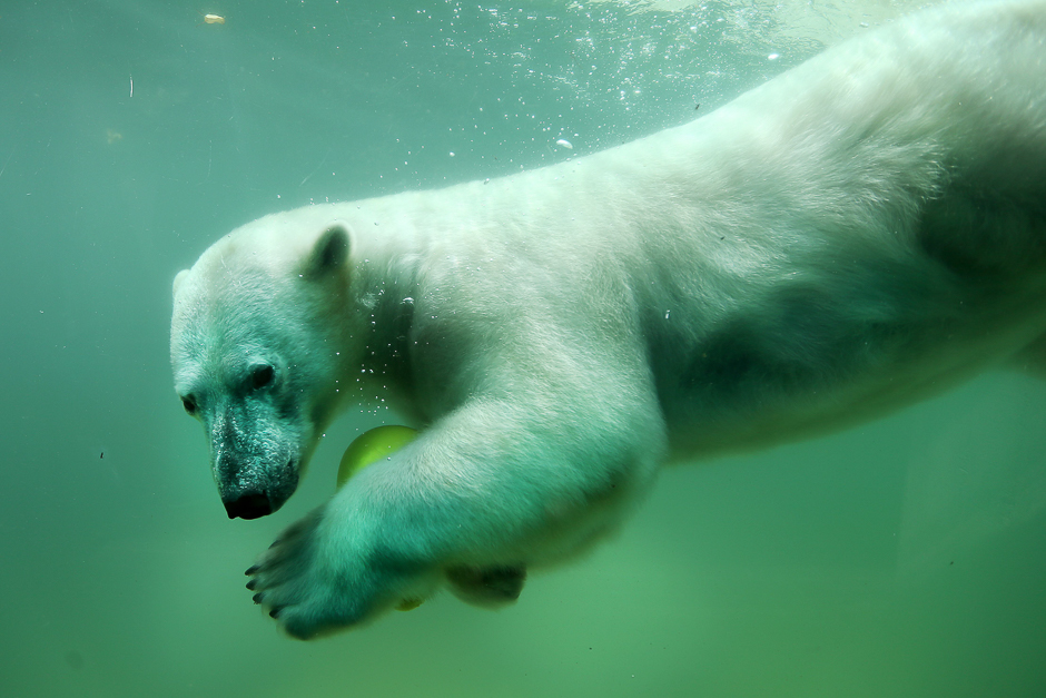 A polar bear swims with a ball in his swimming pool in Wuppertal, western Germany. PHOTO: AFP