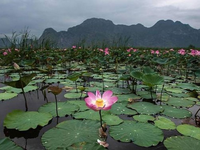 Lotus flowers blossom in the Khao Sam Roi Yot national park in southern Thailand. PHOTO: AFP