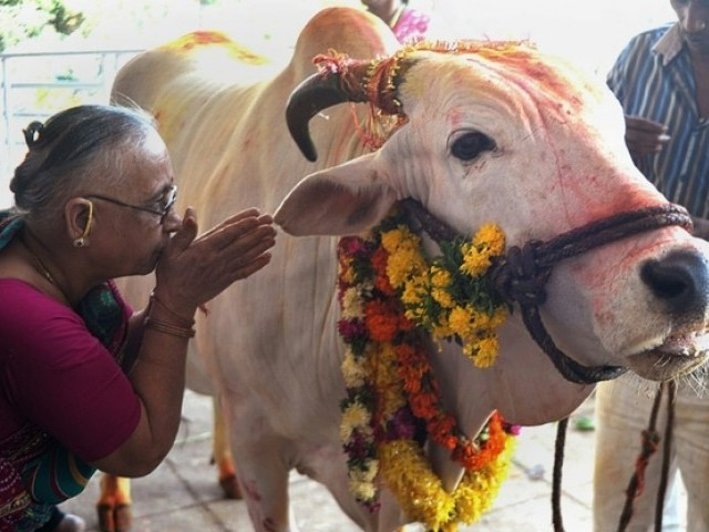 Cows are revered in the Hindu scriptures as the 'mother' of civilisation and many worshippers equate the slaughter of cows or eating beef as blasphemy. PHOTO: AFP