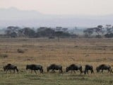 wildbeest-graze-in-serengeti-national-park