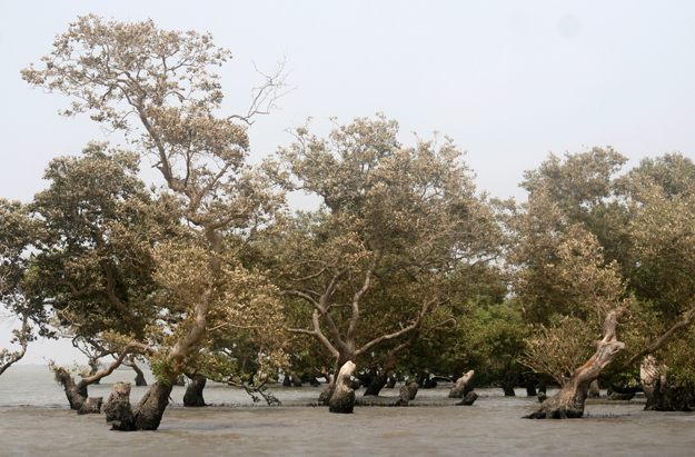 Mangrove forests in Sindh consist of four species. PHOTO: ATHAR KHAN