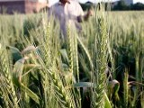 farming-farm-farmer-wheat-gandum-agriculture-grow-irrigation-photo-inp-2-2-3-2-3-3-2-2-4-2-2-2-2-2-3-3-2-2-2-2-2