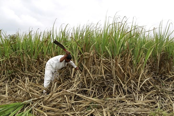 nazirkar-a-farmer-cuts-partially-destroyed-sugarcane-to-be-used-as-fodder-for-his-cattle-at-a-village-in-pune-2