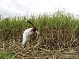 nazirkar-a-farmer-cuts-partially-destroyed-sugarcane-to-be-used-as-fodder-for-his-cattle-at-a-village-in-pune-2-2-2-2