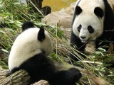 giant-pandas-yuan-zi-and-huan-huan-relax-inside-their-enclosure-at-the-zooparc-de-beauval-in-saint-aignan-central-france