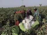 women-cotton-pickers-unload-cotton-blooms-plucked-from-plants-to-make-a-bundle-in-a-field-in-meeran-pur-village-north-of-karachi-2-2