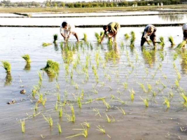 Pakistan exported rice worth Rs168.244 billion in fiscal year 2017, down from Rs194.2 billion in the previous year. PHOTO: FILE