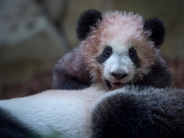 A picture taken on January 12, 2018 at The Beauval Zoo in Saint-Aignan-sur-Cher, central France shows cub panda Yuan Meng playing with its mother Huan Huan inside its new enclosure. PHOTO: AFP